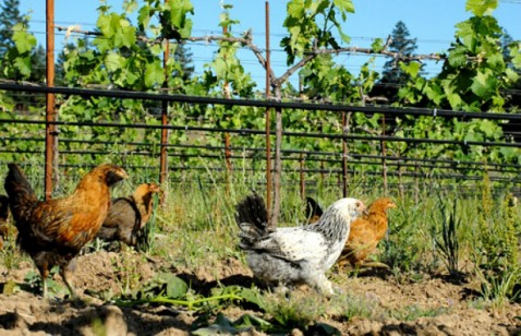 chickenvineyards