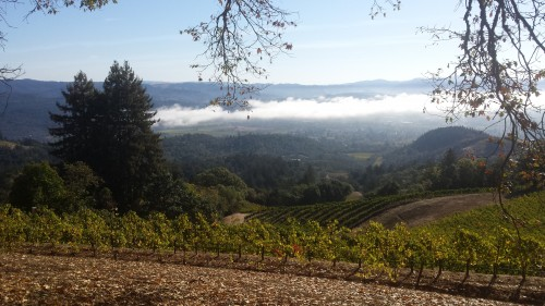 Fog lifting around 9:30 am at Spring Mountain Vineyard.