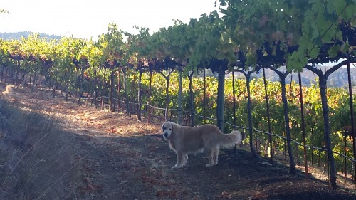 Winery dog at Paloma, Palo, giving a tour of the vineyards.