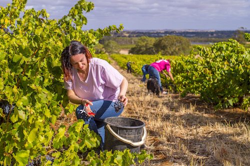 staff-picking-grenache-vines